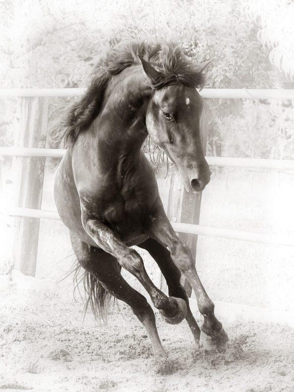 Buy a horse Gallop