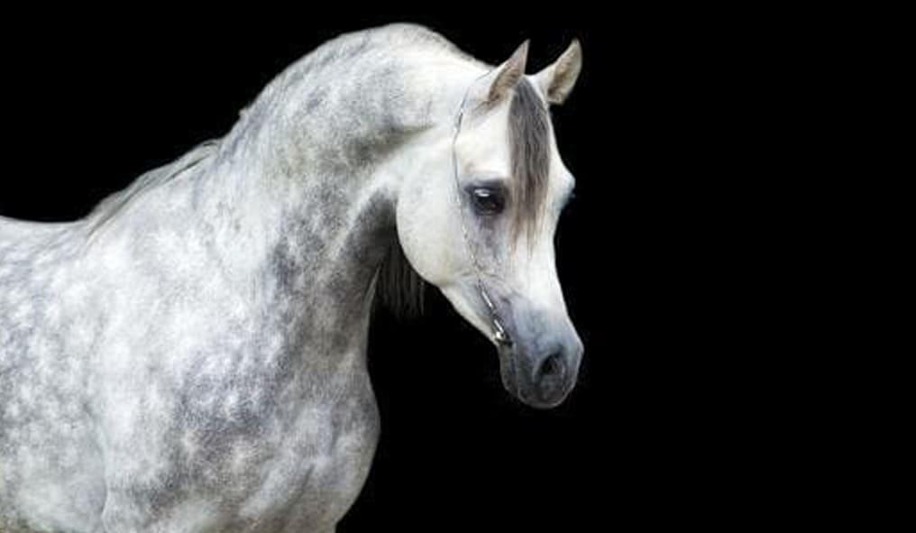 Arabian Horse and Background Black