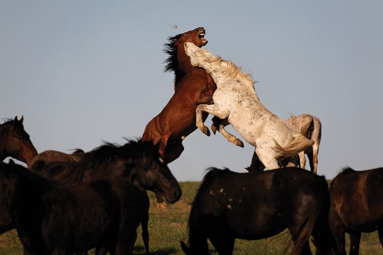 Mustang Horse Combact