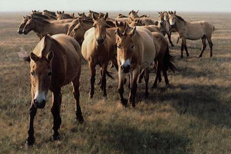 Przewalski Horse Branco