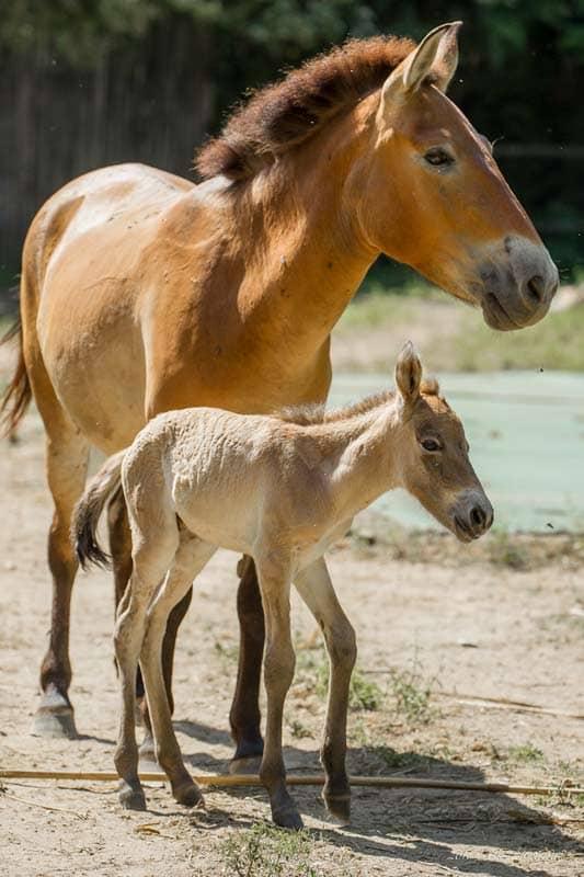 Przewalski Horse and foal
