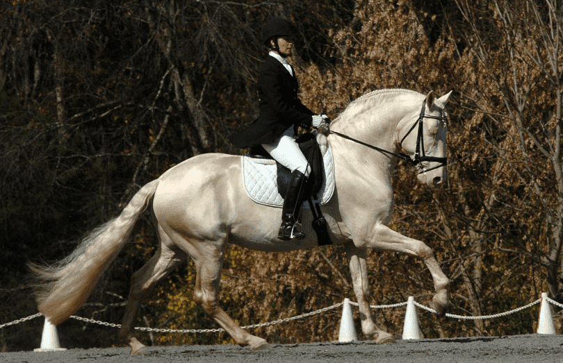 Andalusian horse 8