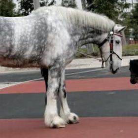 Falabella Horse