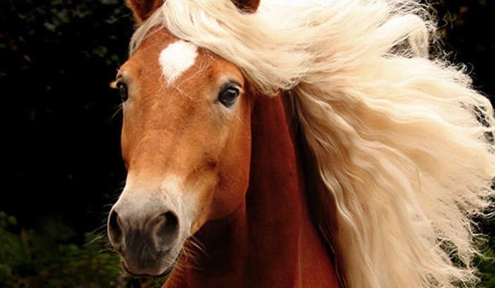 Haflinger horse PP