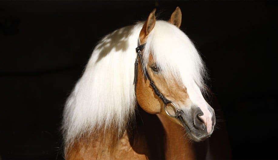 Haflinge horse ciuffo