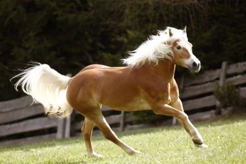 Haflimnge horse run