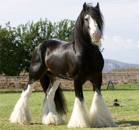 Shire Horse 4
